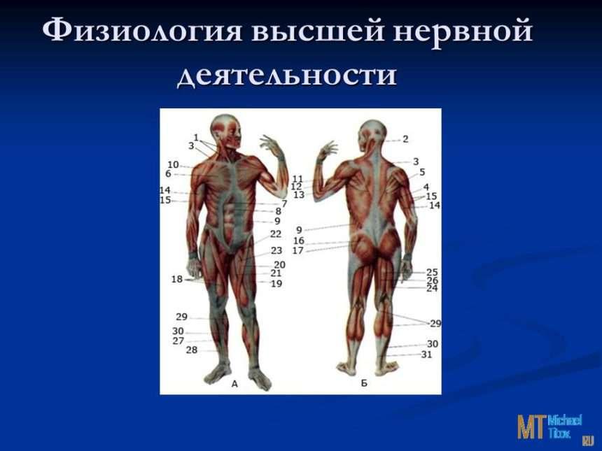 Шпаргалки Физиология Высшей Нервной Деятельности