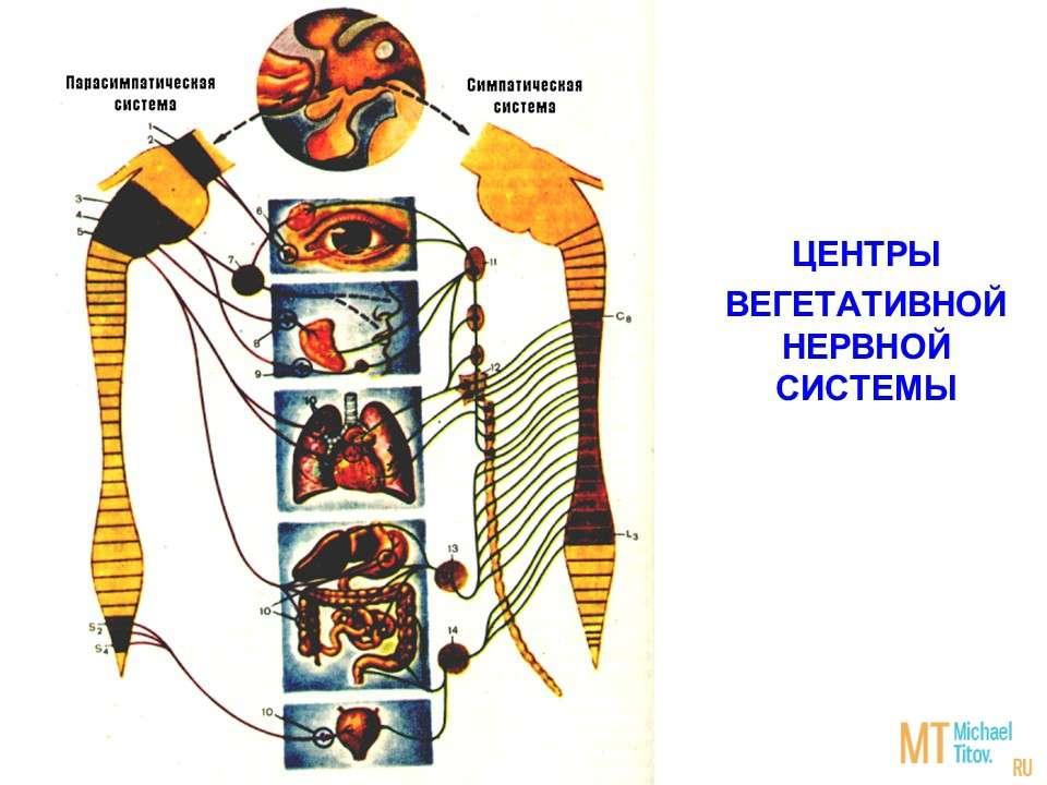 Центры вегетативной нервной  системы