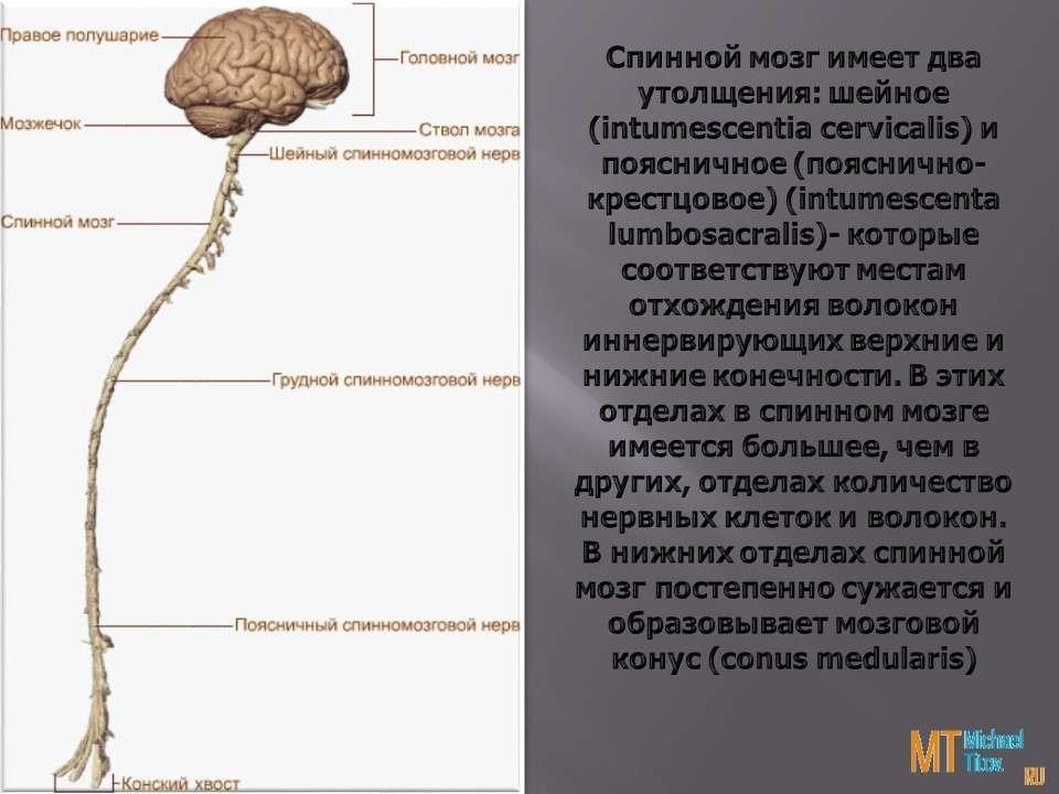 Спинной мозг имеет два утолщения