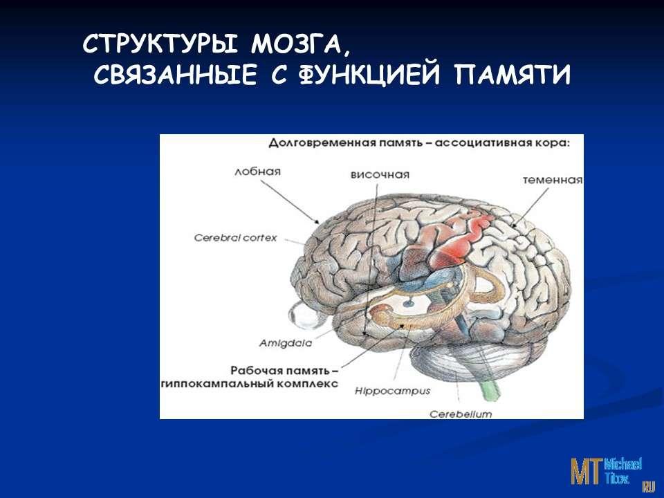 Структуры мозга, связанные с функцией памяти