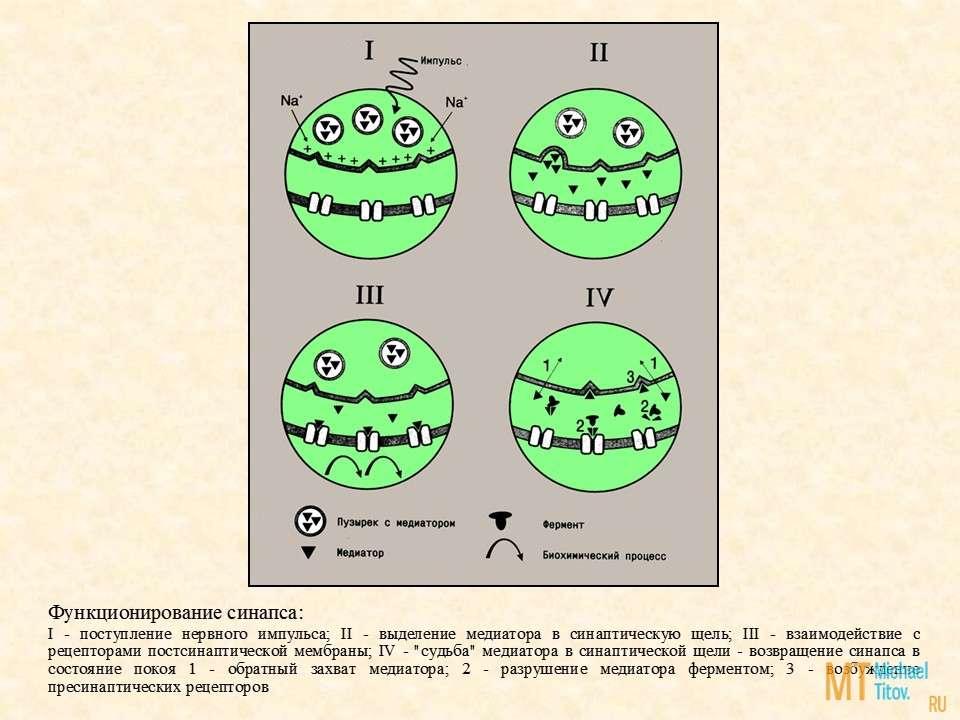 """Функционирование синапса: I - поступление нервного импульса; II - выделение медиатора в синаптическую щель; III - взаимодействие с рецепторами постсинаптической мембраны; IV - """"судьба"""" медиатора в синаптической щели - возвращение синапса в состояние покоя 1 - обратный захват медиатора; 2 - разрушение медиатора ферментом; 3 - возбуждение пресинаптических рецепторов"""