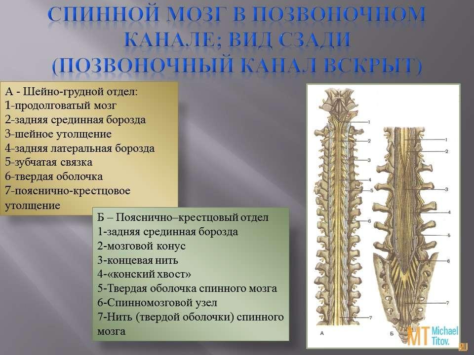 Спинной мозг в позвоночном канале; вид сзади  (позвоночный канал вскрыт)