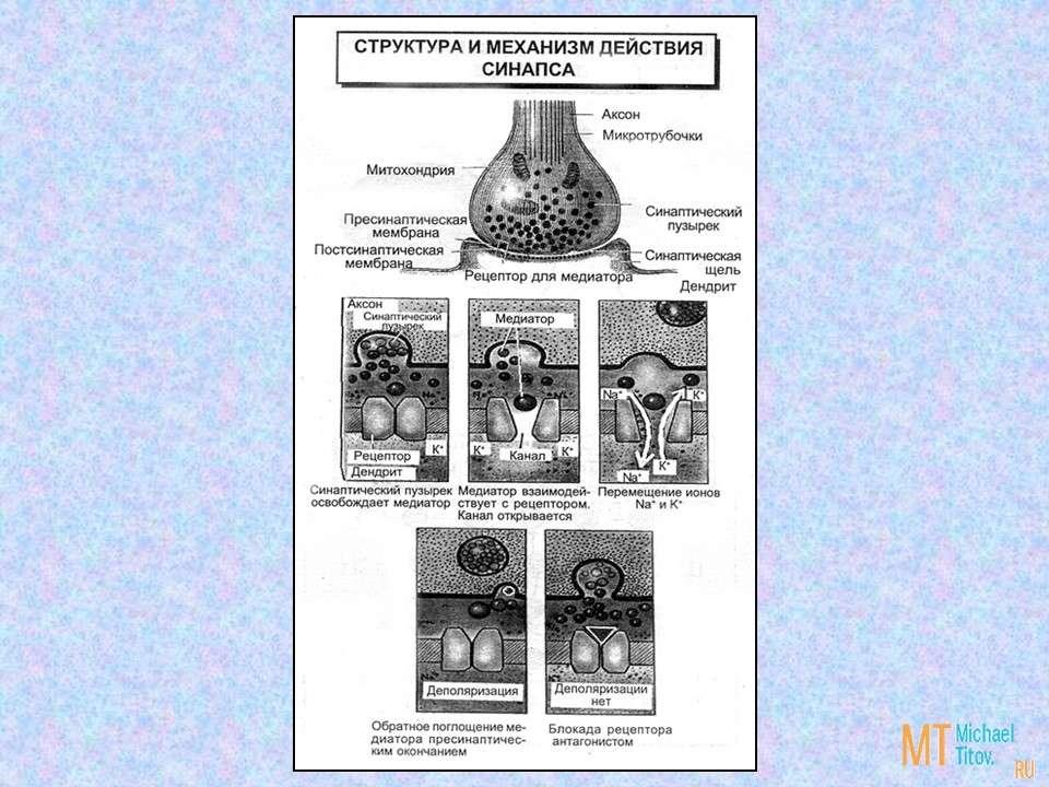 Структура и механизм действия синапса