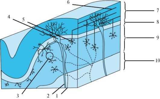 Клеточное строение коры мозжечка: 1 - вьющиеся волокна; 2 - аксон клетки Пуркинье; 3 - клубочек; 4 - клетка Пуркинье; 5 - наружная звездчатая клетка; 6 - параллельные волокна; 7 - молекулярный слой; 8 - слой клетки Пуркинье; 9 - гранулярный слой; 10 - белое вещество; 11 - мшистые волокна