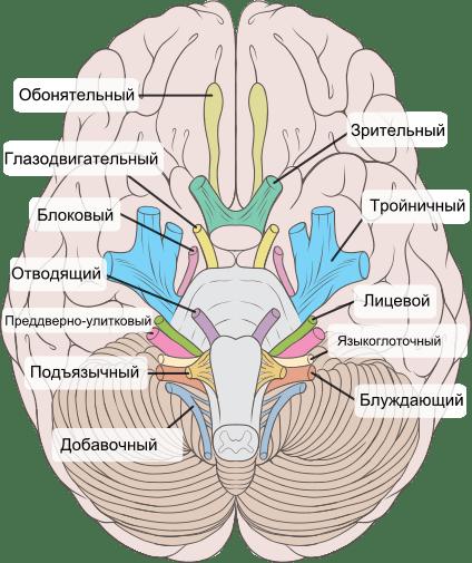Функции черепных нервов